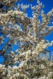 Biały Biały Czereśniowy okwitnięcie w Santa Fe, Nowym - Mexico zdjęcia stock