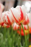 Biały czerwony tulipanowy zbliżenie Obrazy Stock