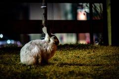 Biały dźwigarka królik samotnie przy nocą obraz stock