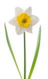 Biały daffodil obrazy royalty free