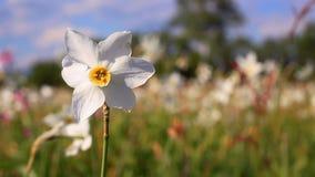 Biały daffodil kwiat w wiosny polu Wiosny pole z pięknymi daffodils zbiory wideo