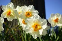 Biały daffodil kwitnie kwitnienie w wiośnie Zdjęcia Royalty Free