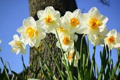 Biały daffodil kwitnie kwitnienie w wiośnie Obrazy Royalty Free