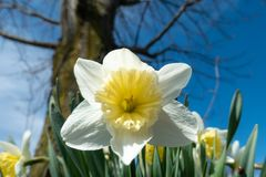 BiaÅ'y Daffodil kwitnienie w kraju ogródzie na sÅ'onecznym dniu zdjęcia royalty free