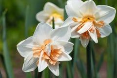 Biały daffodil narcyz z pomarańcze i kolor żółty ześrodkowywamy obraz royalty free