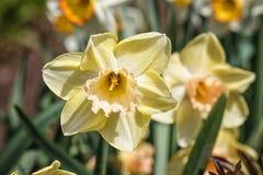 Biały daffodil narcyz z pomarańcze i kolor żółty ześrodkowywamy zdjęcie stock
