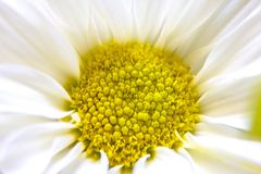 Biały dalia kwiat z koloru żółtego centrum Zdjęcie Stock
