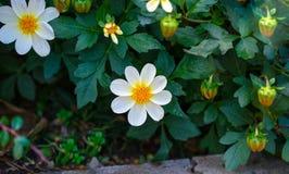 Biały dalii Bambino kwiat kwitnie w ogródzie zdjęcia royalty free
