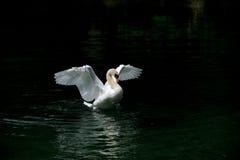 Biały dancingowy łabędź Zdjęcia Royalty Free