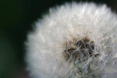 Biały Dandelion kwiatu zakończenie (Taraxacum Officinale) Zdjęcia Royalty Free