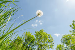 Biały dandelion po kwitnąć w zielonej trawy słońcu i zakończeniu Obrazy Royalty Free