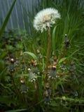 biały dandelion wśród żółtych dandelions zdjęcie stock