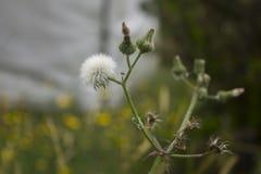 Biały dandelion z dzieci dandelions wokoło kwitnąć obraz royalty free