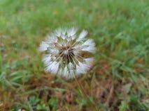 Biały dandelion ziarno zdjęcie royalty free