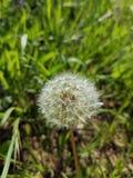 Biały dandelion ziarno obraz stock