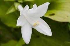 Biały daylily zakończenie up w lato ogródzie zdjęcie royalty free