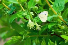 Biały delikatny krzaków kwiatów banksi zakończenie up w wiośnie - Zdjęcia Stock