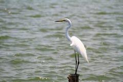 Biały dennego ptaka stojak przy jezioro stroną Obraz Stock