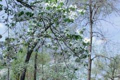Biały dereń kwitnie w wiośnie z zamazanymi drzewami i niebieskim niebem w tle obraz stock