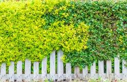 Biały drewniany ogrodzenie przerastający z zielonymi liśćmi zdjęcia stock