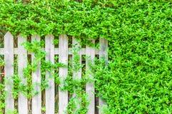 Biały drewniany ogrodzenie przerastający z zielonymi liśćmi fotografia royalty free
