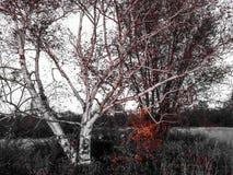 Biały drzewo Zdjęcie Royalty Free
