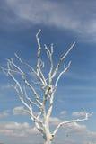 Biały drzewo Zdjęcia Royalty Free