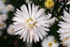 Biały duży kwiat Obrazy Royalty Free