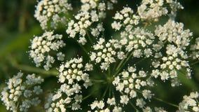 Biały dziki cicuta virosa kwiat w zielonym tle zbiory wideo