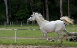 Biały dziki koń Fotografia Royalty Free