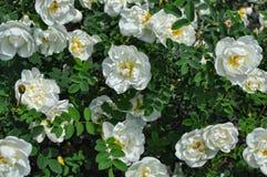 Biały dziki różany krzak Obrazy Stock