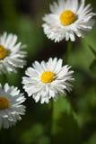 Biały dziki stokrotka kwiat na zielonym tle fotografia royalty free