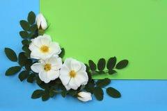Biały dziki wzrastał na błękita i zieleni tle w tym samym czasie obraz stock