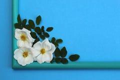 biały dziki wzrastał na błękitnym tle z ramą obraz royalty free