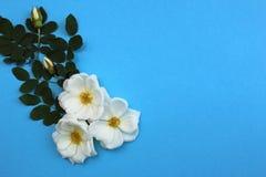 Biały dziki wzrastał trzy pączka na błękitnym tle zdjęcia stock