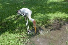 Biały Egret jest przyglądający dla jedzenia w zoo, Tajlandia Fotografia Royalty Free