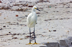 Biały Egret na plaży Obrazy Stock