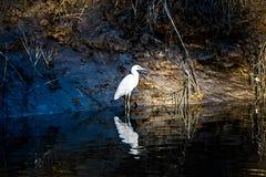 Biały egret polowanie dla ryba z aligatorem atakującym nawadnia obraz stock