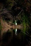 Biały egret pozujący przeciw ciemnemu ulistnieniu zdjęcie stock