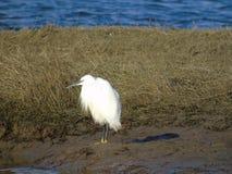 Biały egret w żółtych butach Fotografia Royalty Free