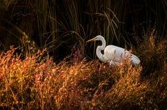 Biały Egret w czerwonym pomarańczowym foilage Zdjęcie Royalty Free