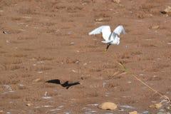 Biały egret w locie ciska czarnego cień zdjęcie stock