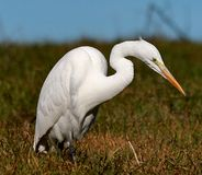 Biały Egret w naturze obrazy stock