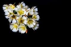 Biały Elaeocapusflowers na czarnym tle obraz stock