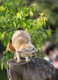 Biały fenka lis lub pustynia lis z dużym ucho Obraz Stock