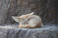 Biały fenka lis lub pustynia lis z dużym ucho Zdjęcie Stock