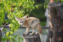 Biały fenka lis lub pustynia lis z dużym ucho Obraz Royalty Free