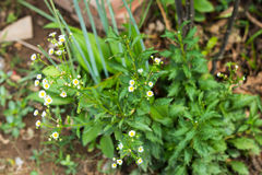 Biały Fleabanes w ogródzie, kwiatu rocznika tło Obraz Stock