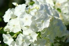 Biały floksa kwiatu zakończenie up Zdjęcie Royalty Free
