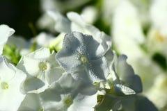 Biały floksa kwiatu zakończenie up Fotografia Royalty Free